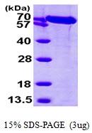 AR09764PU-L - HSPA5 / GRP78