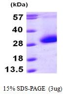AR09765PU-L - CDKN3 / CIP2
