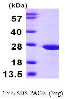 AR09787PU-L - ATP synthase subunit O