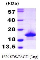 AR09815PU-L - Myoglobin