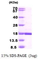 AR09876PU-L - Retinoid-binding protein 7 / RBP7