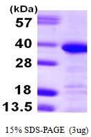 AR09954PU-L - Annexin A13 / ANXA13