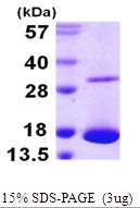 AR09974PU-L - Galectin-10