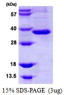 AR39065PU-L - Intelectin-1 / Omentin