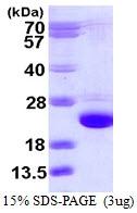 AR39125PU-L - Cofilin-2