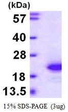 AR39131PU-L - FGF acidic / FGF1