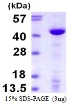 AR39132PU-L - DNA polymerase beta
