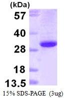 AR39135PU-L - Ephrin-B1
