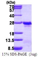 AR50059PU-N - Transgelin-3 (TAGLN3)