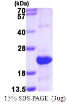 AR50067PU-N - Serglycin / PRG1