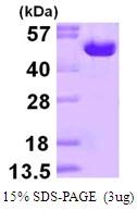 AR50078PU-N - Ornithine decarboxylase