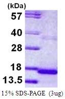 AR50081PU-N - Cystatin 9
