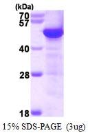AR50120PU-N - TUBG1 / Tubulin gamma 1