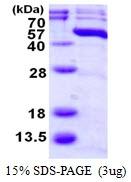 AR50124PU-N - MAP kinase p38 beta / MAPK11