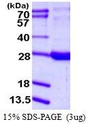 AR50128PU-N - Retinol-binding protein 1
