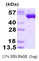 AR50143PU-N - Glutathione reductase