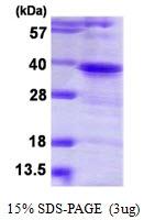 AR50147PU-N - Twinfilin-1 (TWF1)
