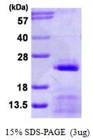 AR50148PU-N - snRNP-C / SNRPC