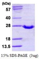 AR50150PU-N - Glutathione peroxidase 2 / GPX2