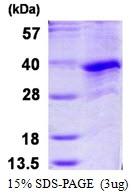 AR50156PU-N - Cyclin G1
