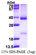 AR50167PU-N - Cyclin D2