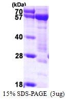 AR50187PU-N - Syntrophin-1 / SNTA1