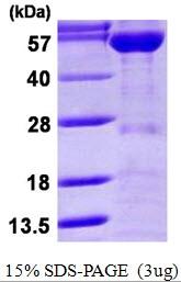 AR50214PU-N - KPNA2 / Importin alpha-2