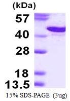 AR50292PU-N - CD138 / Syndecan-1