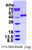 AR50296PU-N - Alcohol dehydrogenase 5 (ADH5)