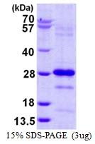 AR50297PU-N - Pallidin (PLDN)