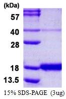AR50317PU-N - IFNG / Interferon gamma