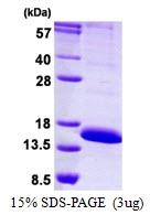 AR50325PU-N - CD306 / LAIR2