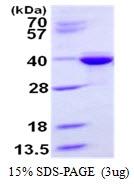 AR50326PU-N - Syntaxin 3 / STX3