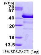AR50330PU-N - Endophilin-A1