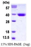 AR50377PU-N - Syntaxin 11 / STX11