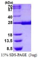 AR50381PU-N - PGD synthetase / PGDS