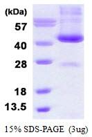 AR50388PU-N - Alcohol dehydrogenase 6 / ADH6