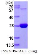 AR50393PU-N - Methionine Sulfoxide Reductase A / MSRA