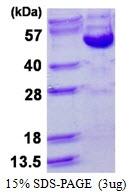 AR50407PU-N - Cyclin B2