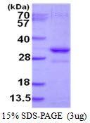 AR50418PU-N - Vacuolar-sorting protein SNF8