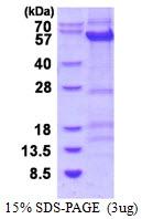 AR50436PU-N - Cyclin B1