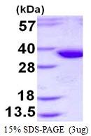 AR50437PU-N - Syntaxin 2 / STX2