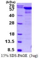 AR50448PU-N - Catalase