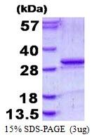 AR50450PU-N - KLK5 / Kallikrein-5