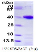 AR50459PU-N - Prostaglandin reductase 1