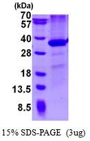 AR50469PU-N - CD274 / PDL1