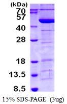 AR50471PU-N - Tropomodulin-3 (TMOD3)