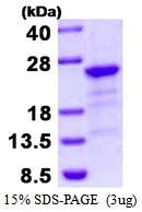 AR50474PU-N - HBX-interacting protein / XIP