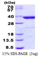 AR50491PU-N - Syntaxin 4 / STX4
