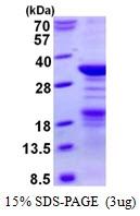 AR50500PU-N - Nucleoplasmin 2